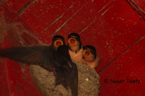 barn_swallow_nest_2008_web.jpg