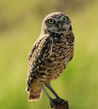 burrowing owl 2009 copy