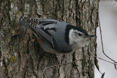 flicker_white-breasted_nuthatch.jpg