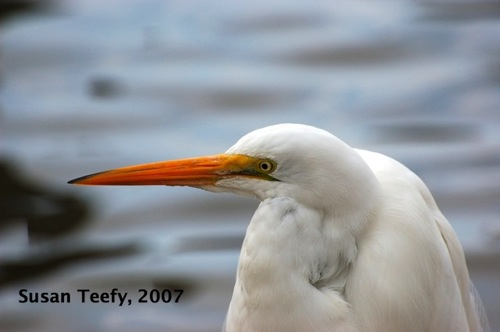 great_egret_2007_web