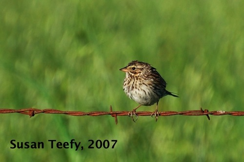 savannah_sparrow_web
